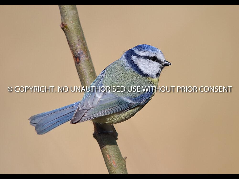 BLUE TIT by Neil Schofield.jpg