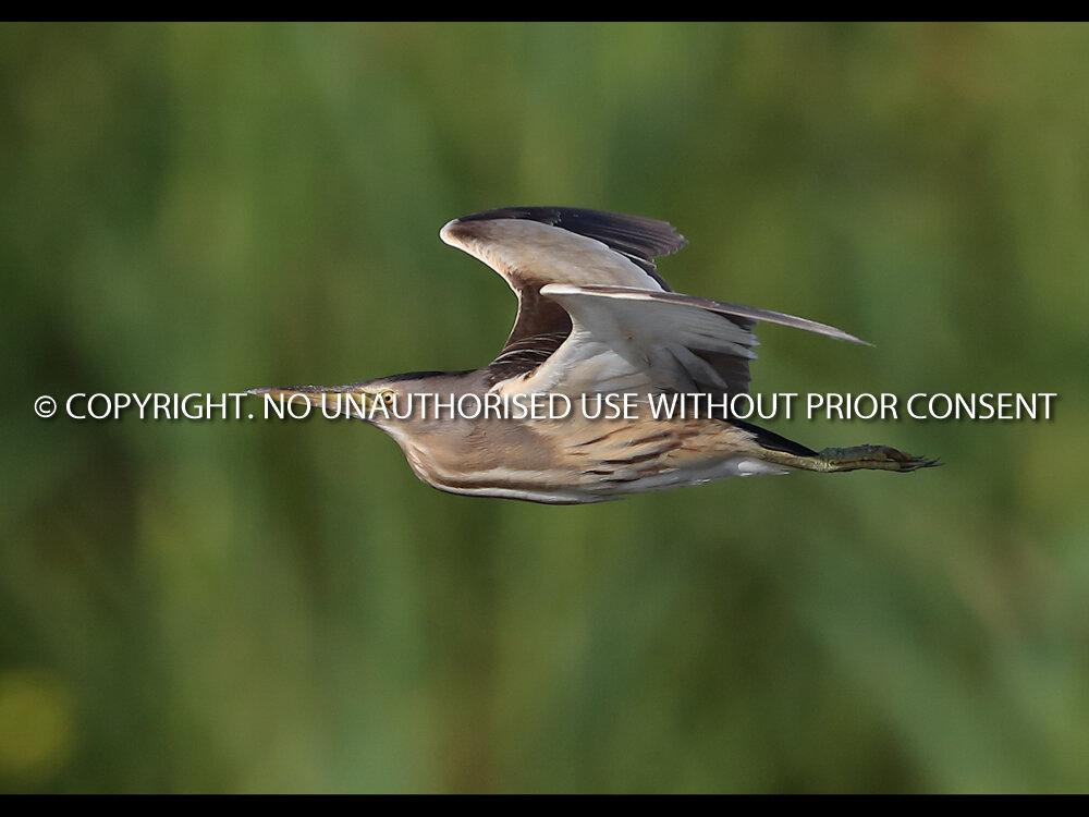 LITTLE BITTERN IN FLIGHT by Neil Schofield.jpg