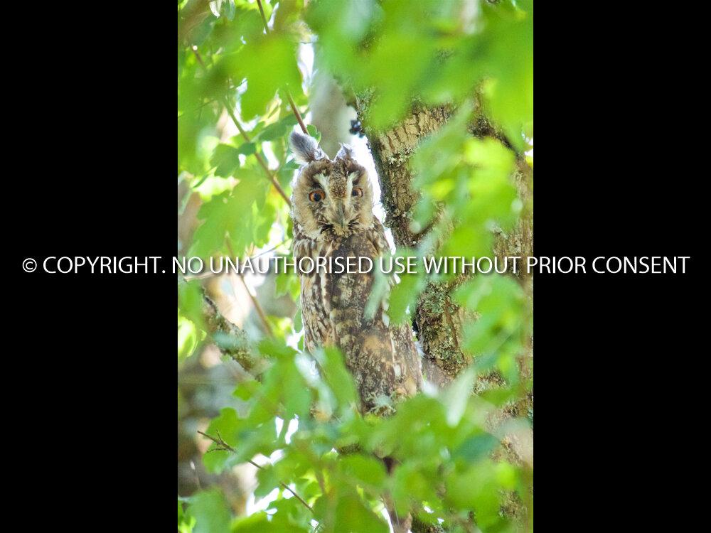 SCOPS OWL by Stephen Miller.jpg