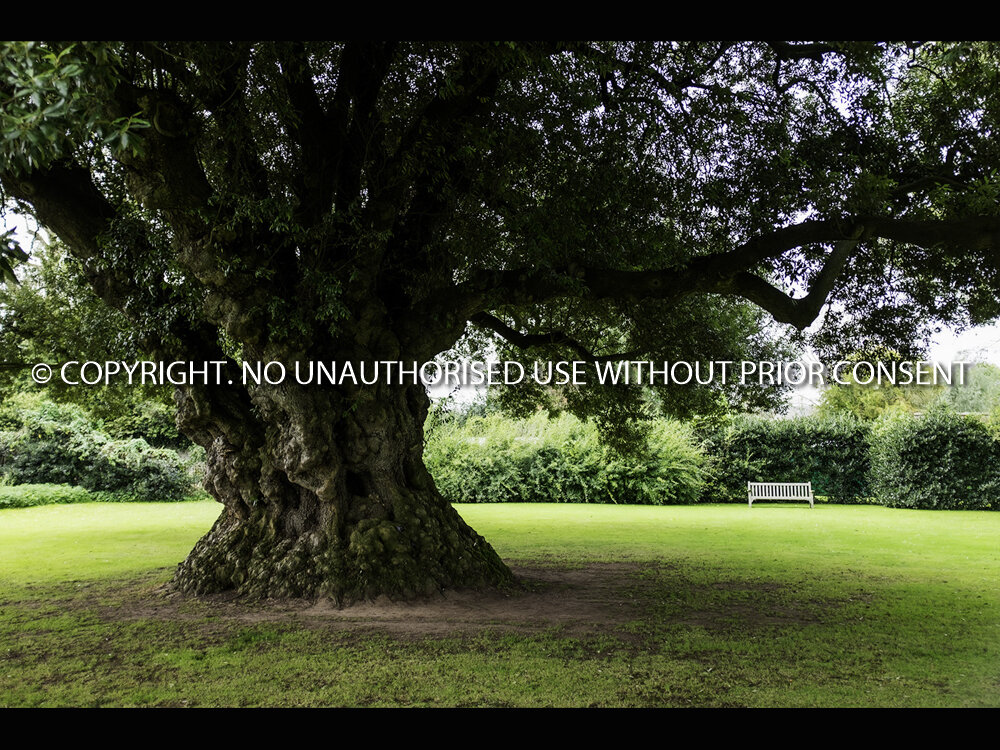 THE 400 YEAR OLD HOLM OAK by Dave Cromack.jpg
