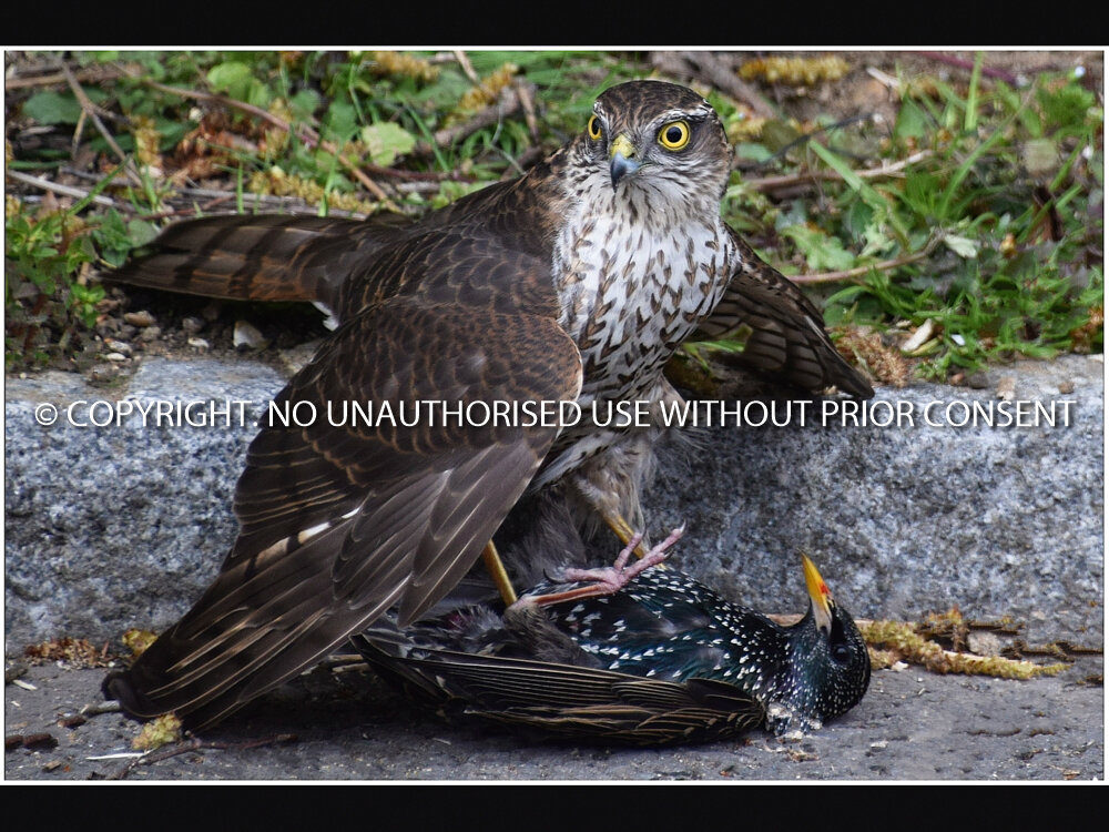 SPARROW HAWK by Kim Woodhouse.jpg