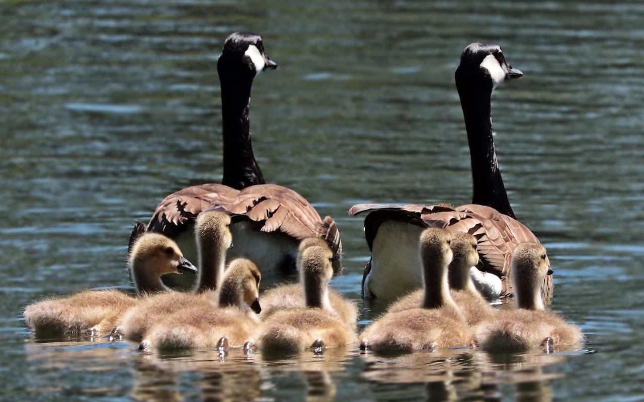 Family-Sharing-geese-photo.jpg