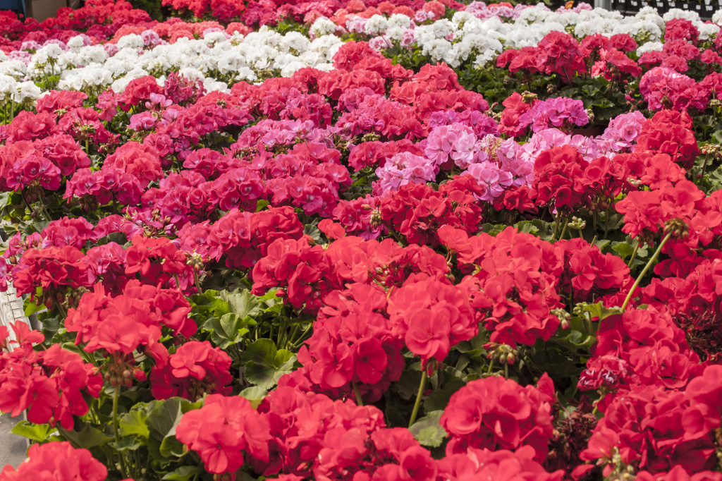 Use warm colours like red and dark pink to liven dull gardens or pull the eye away from undesired features, such as buildings or perhaps your neighbor's junk pile. I tend to plant things closely together so it somewhat looks like a warm fuzzy blanket.