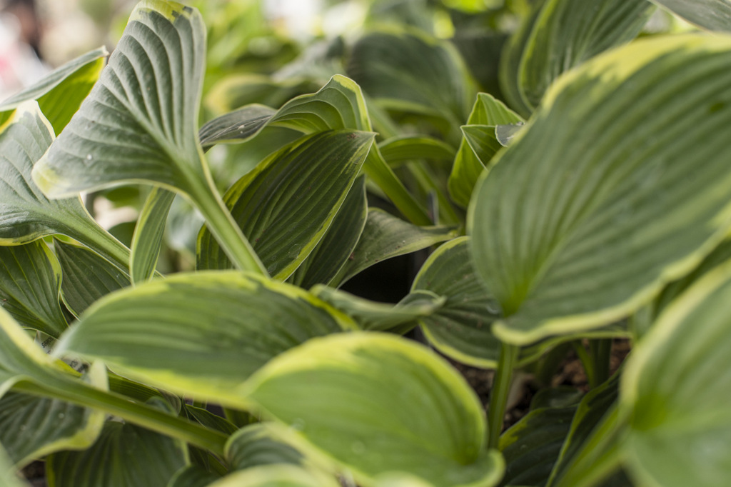 Add green tones such as a Hosta plant. There are soooooo many different types of Hosta plants and these happen to be my favourite type of greenery for any flower beds.