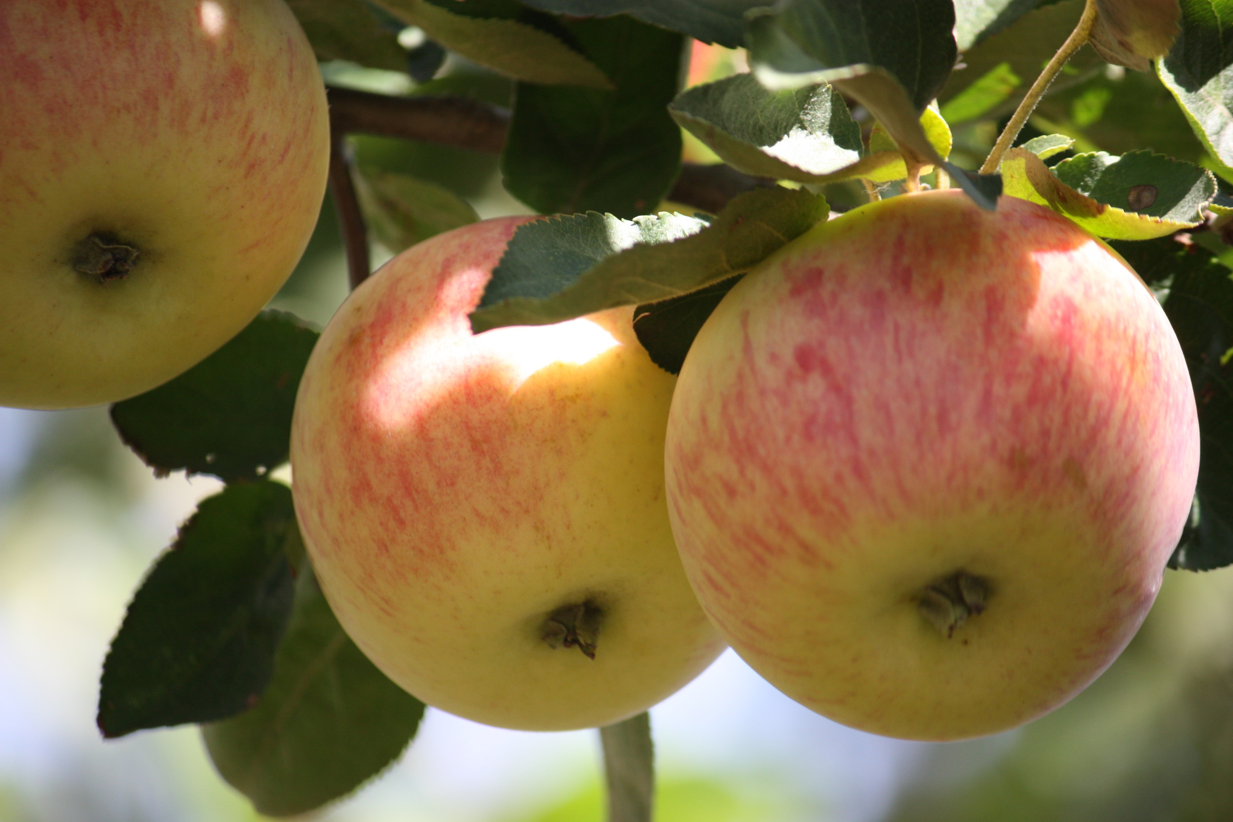 Orchard Apples - Birch Hill Farm on the edge of the Qu'Appelle Valley