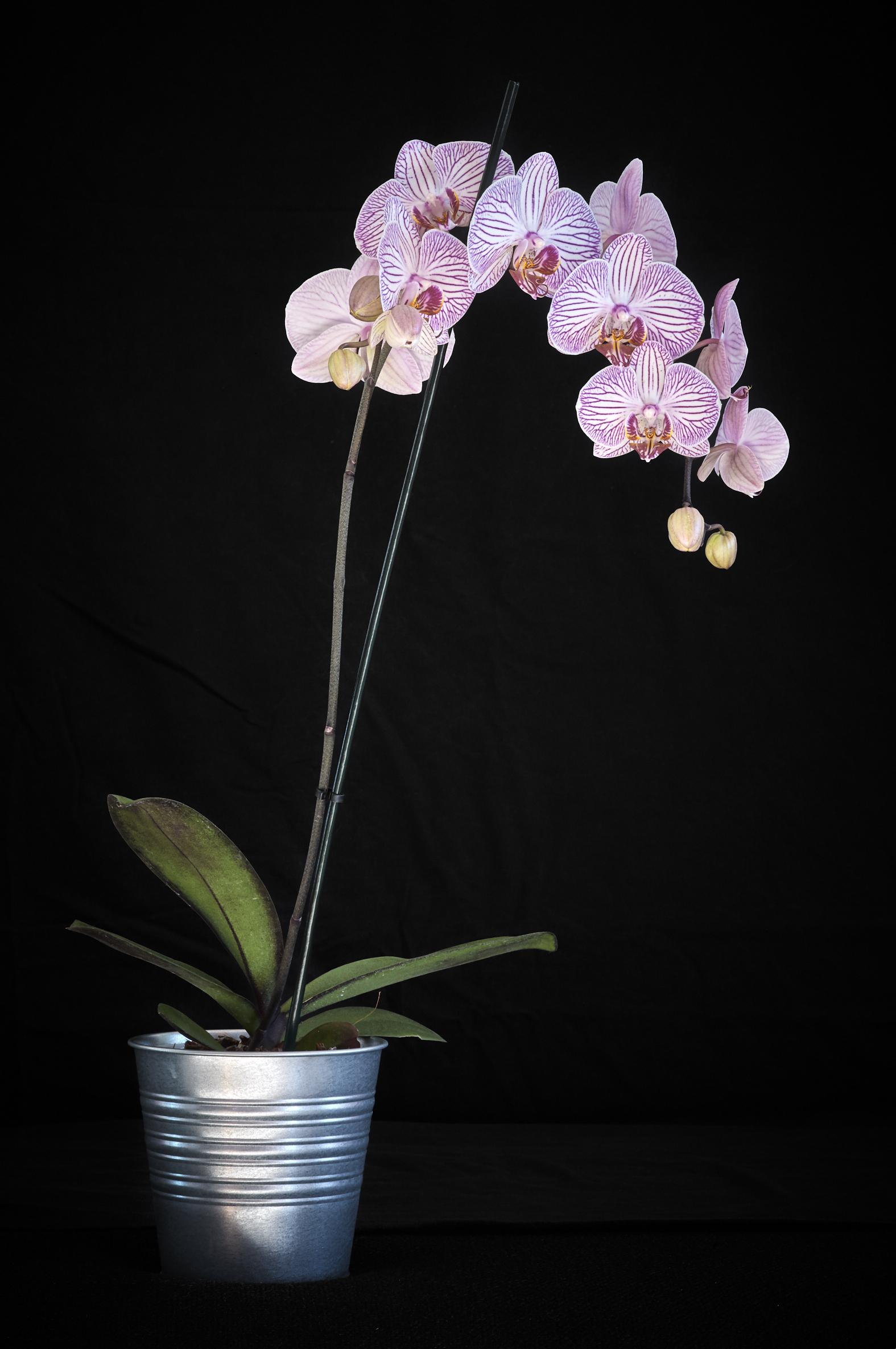 Orchidée Phalaenopsis - Janvier 2019