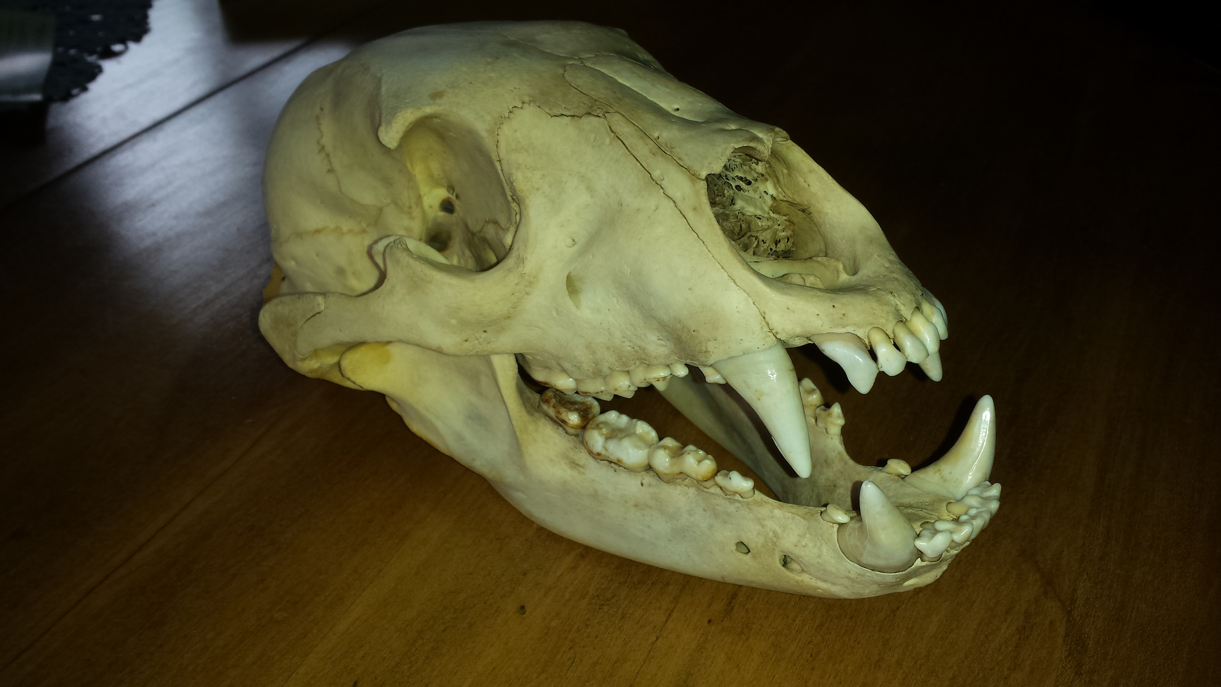 Black bear before degreasing stage. Notice the yellow colours around the back of the jaw and yellow tint of the skull.