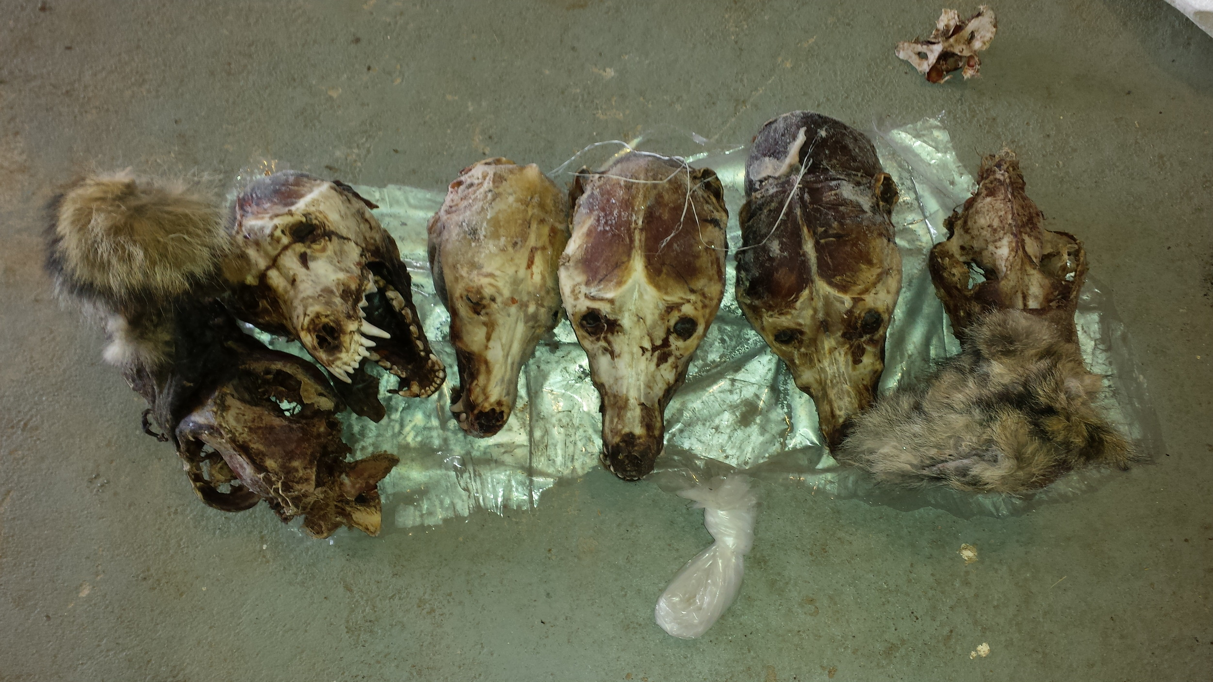 Six wolf skulls given to me with an assortment of other skulls in exchange for the cleaning of a couple wolf skulls and a bobcat. Thanks a lot for the ongoing specimens Hyatt's Manion Lake Camp.