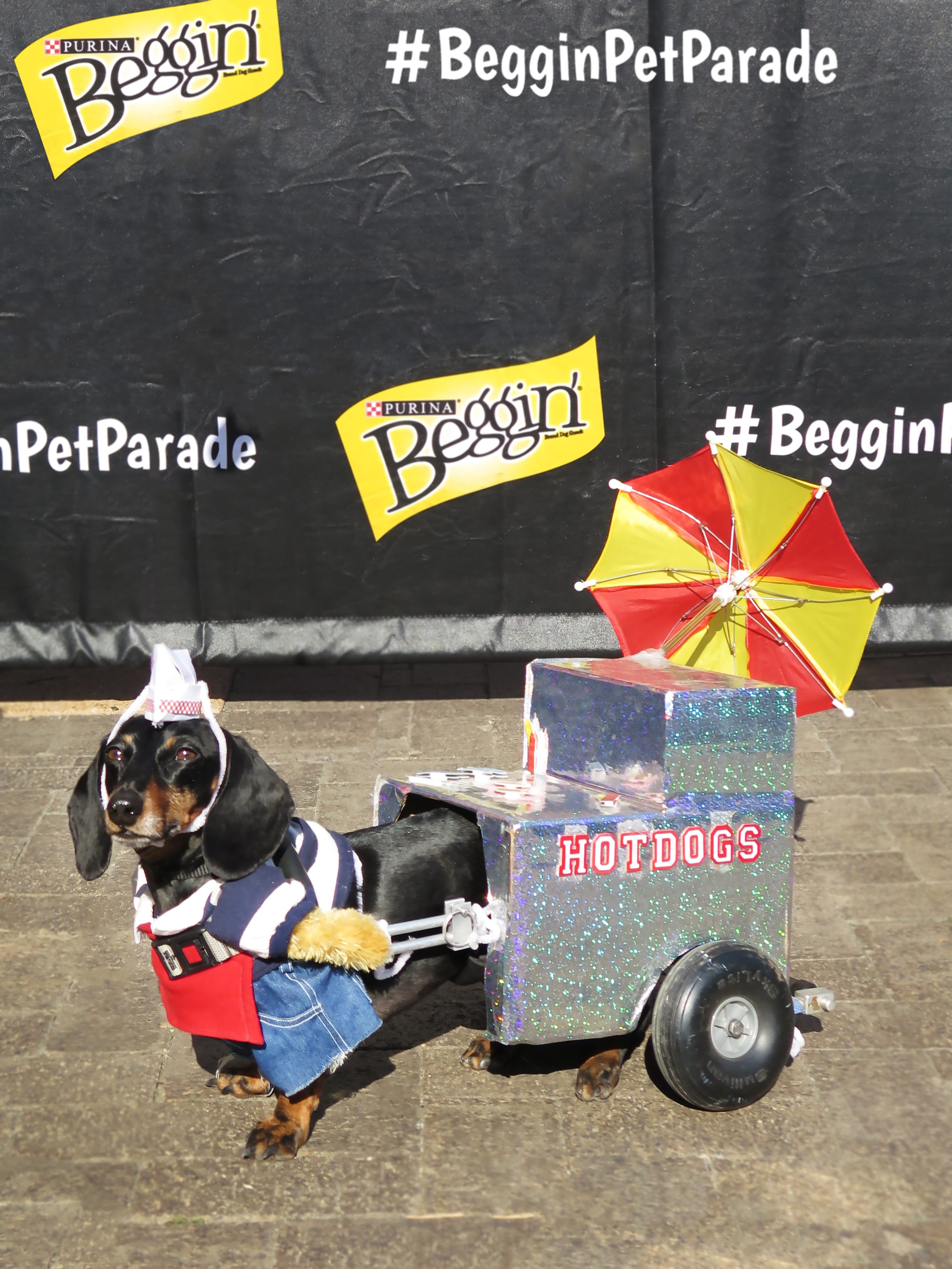 This cutie was crowned Queen at the 2017 Beggin' Pet Parade Coronation.