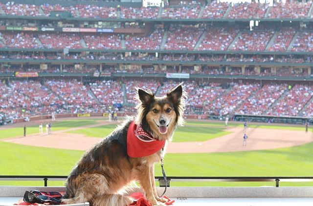We're getting pretty excited for #PoochesInTheBallpark next weekend! ⚾️🐾 Will your pooch be there? 📷: @muttsoftowergrove  #pooches #timetofly #stlouis #stlouisgram #stl #letsgocards #eventmarketing #eventagency