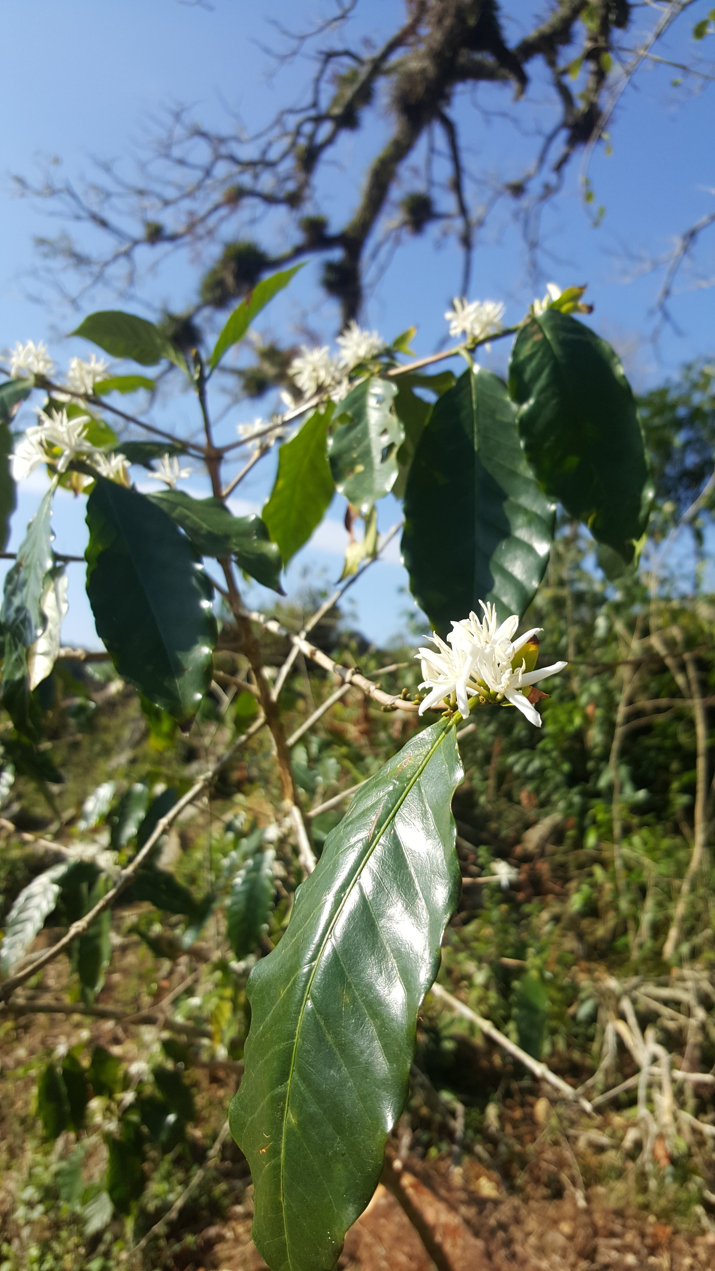 A coffee tree growing on the mountain