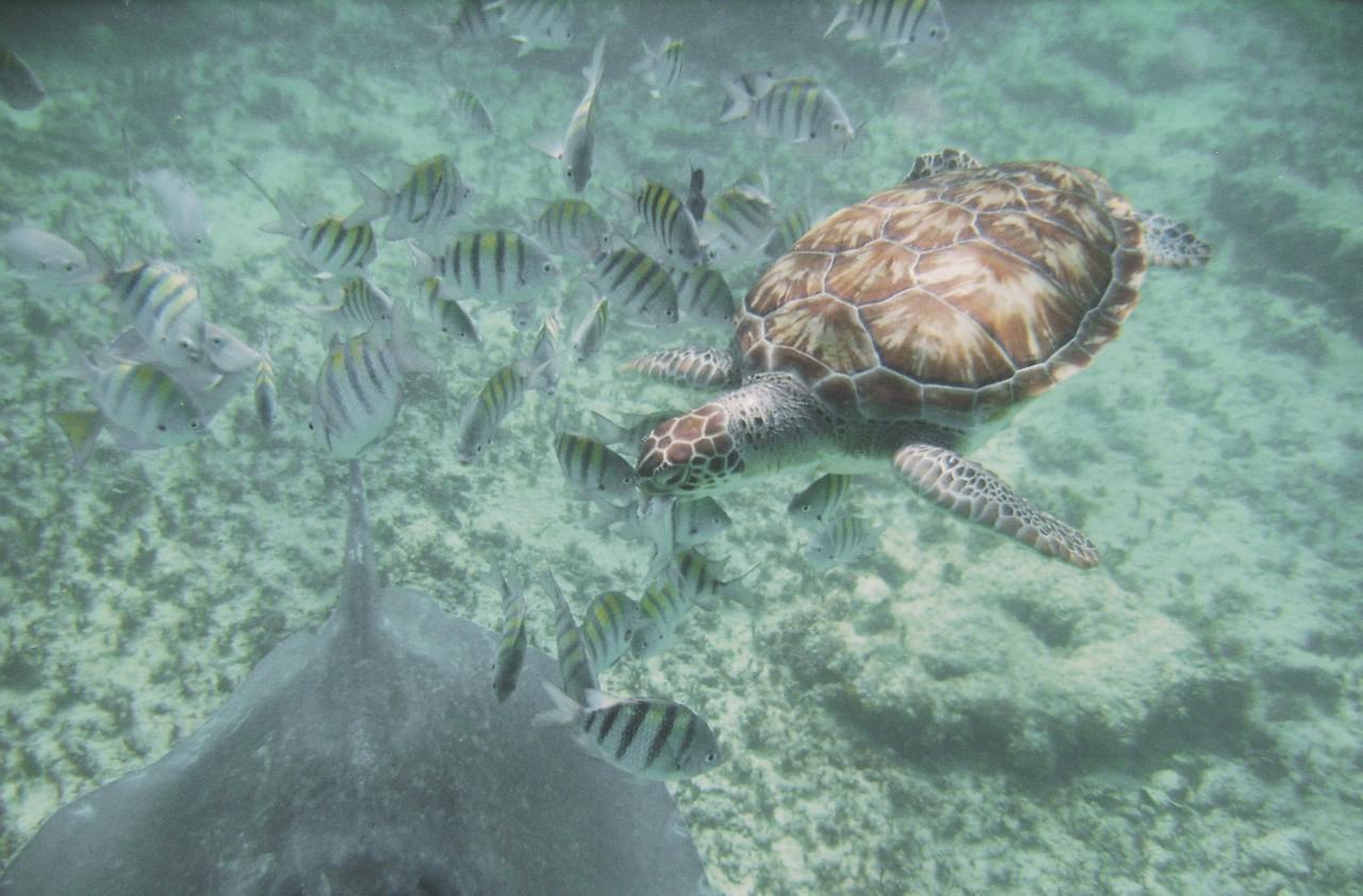 sea-turtle-playa-del-carmen-snorkel-trip.jpg