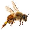 shutterstock_bee 2 png.png