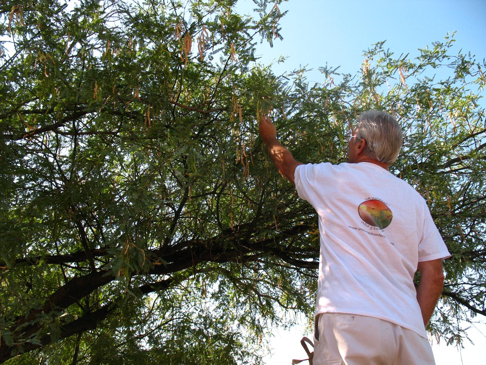 Tom harvesting Mesquite Beans