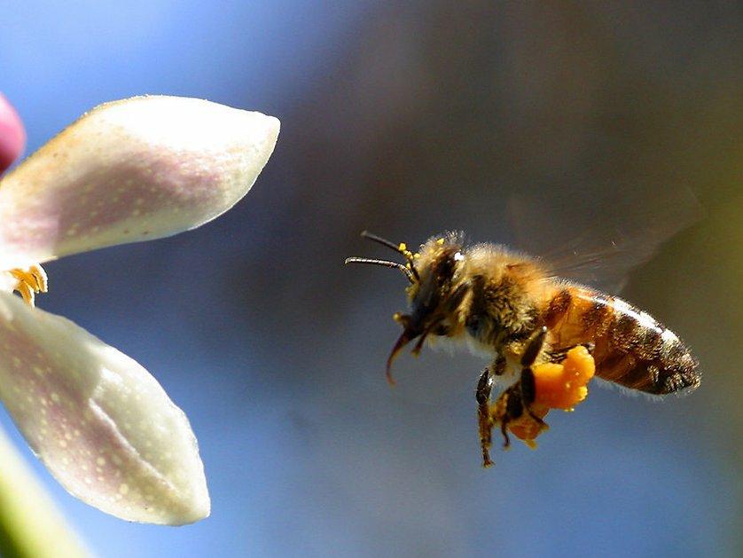 Bee citrus.jpg