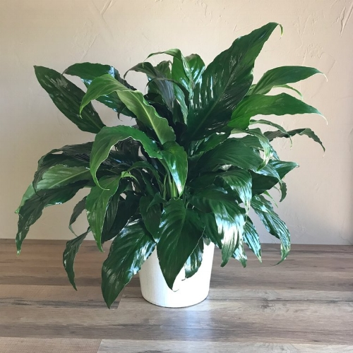 Peace Lily || Orchids + Plants Collection || King Florist