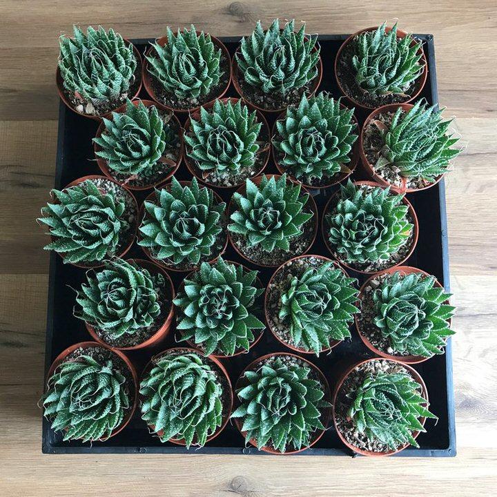 Medium Succulents.jpg