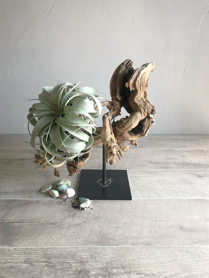 The swirling tendrils of the Xerographica lend itself to this stunning sculptural piece.