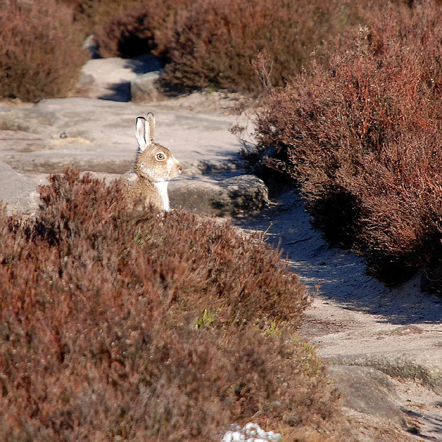 Mountain Hare –  Andrew .