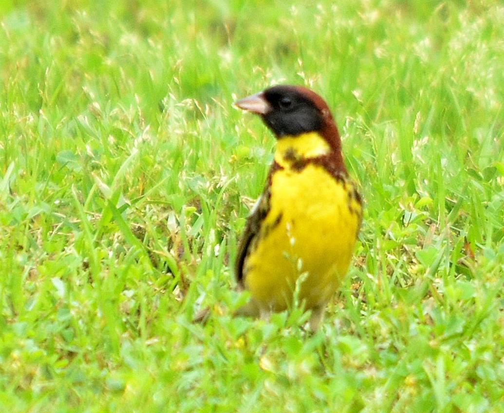 Male Yellow-breasted Bunting  Emberiza aureola ©  jinchin 建昌 lin