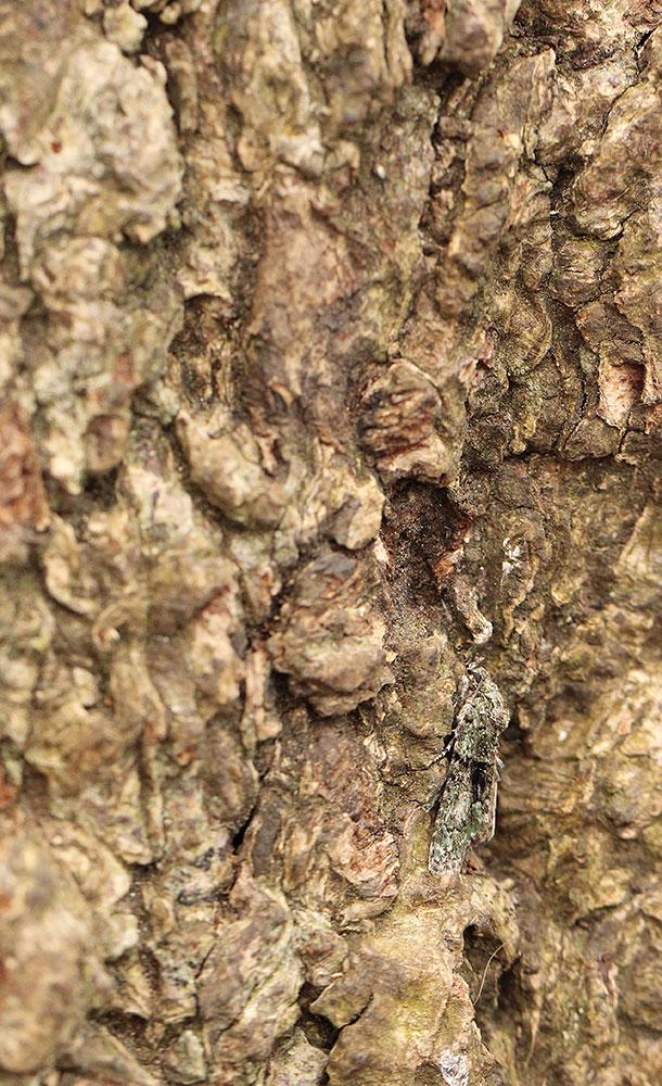Tree-lichen Beauty