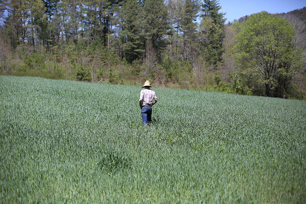 Rye and Harry Vetch Cover Crop, Canewater Appalachia