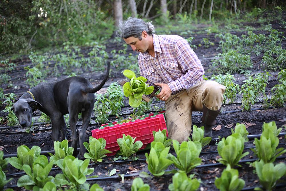 Lettuce Harvest with Waylon