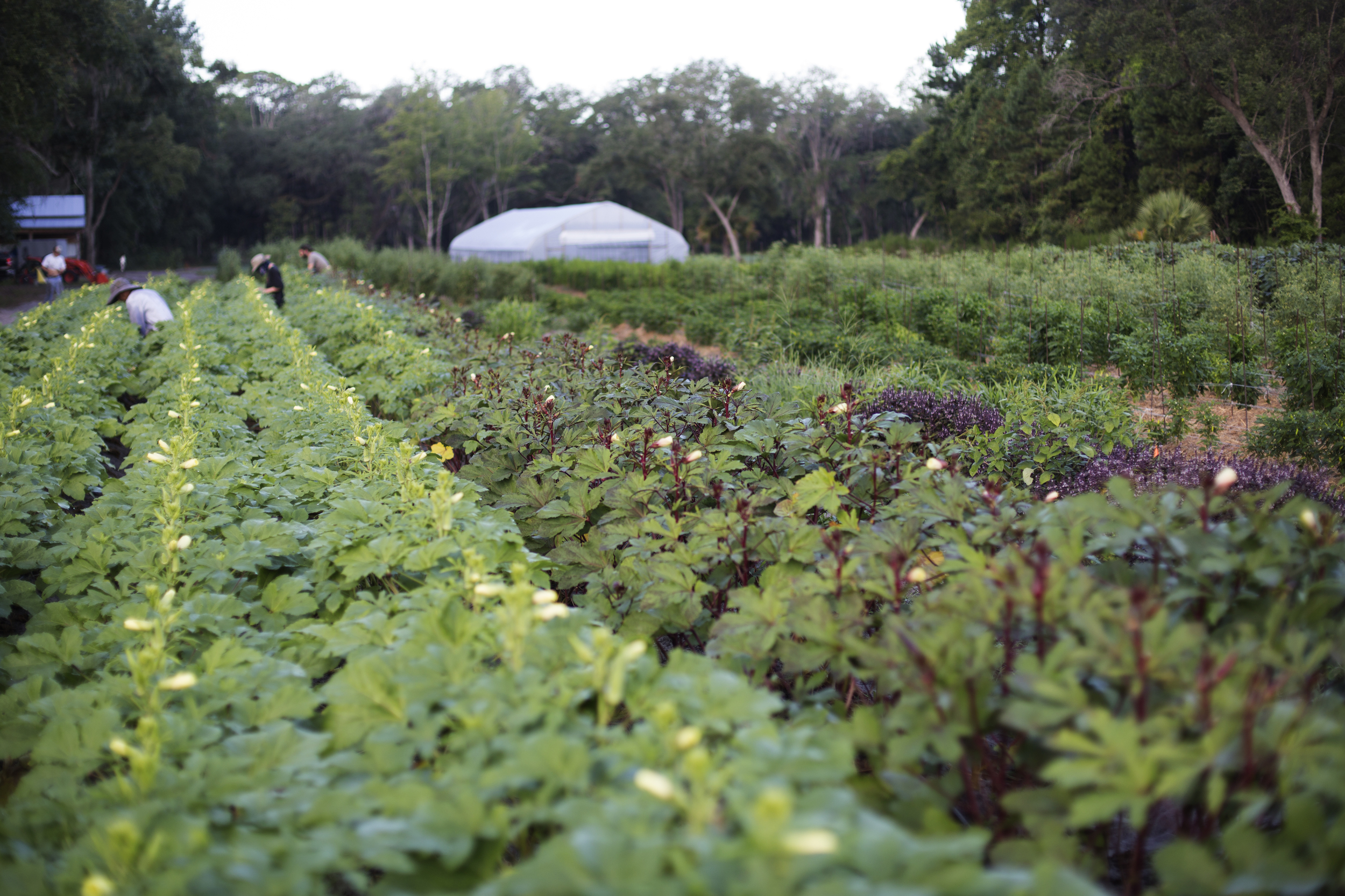 Harvesting Okra