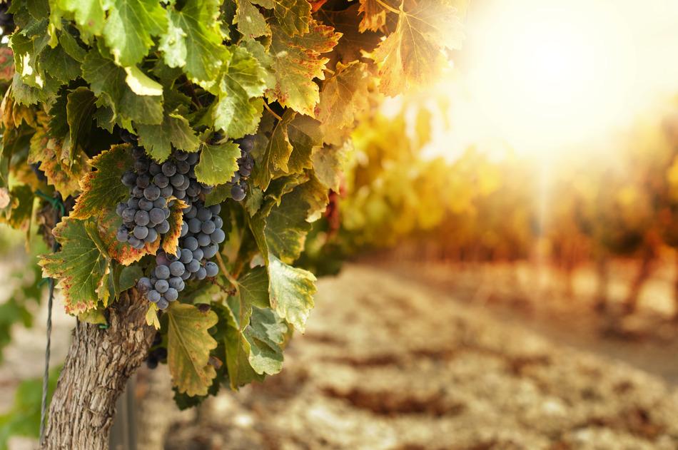 photodune-3238383-vineyards-at-sunset-s.jpg
