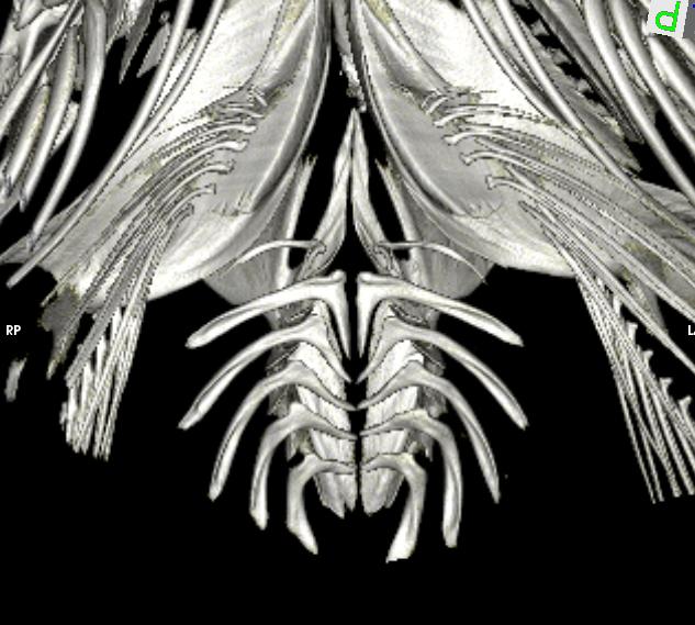 Tidepool Snailfish (Liparis florae)