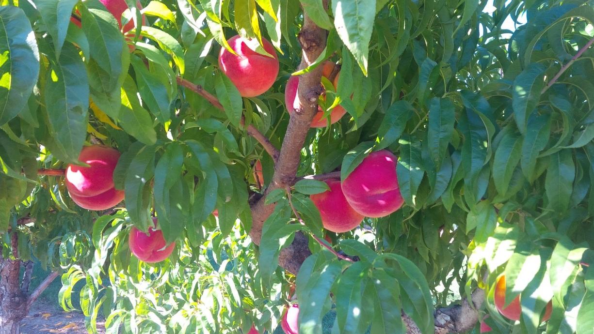 Nectarines BC.jpg
