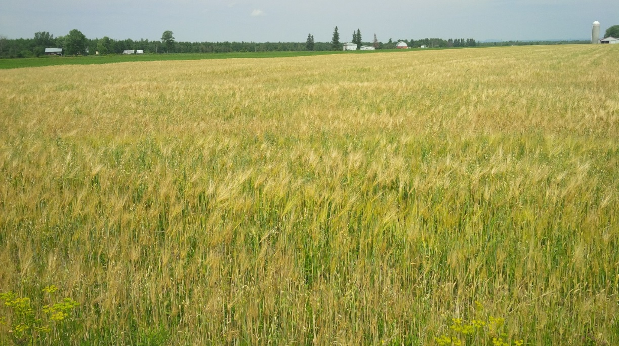 Oat and Barley ON.jpg