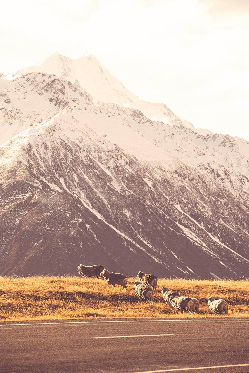 NZ Sheep.jpg