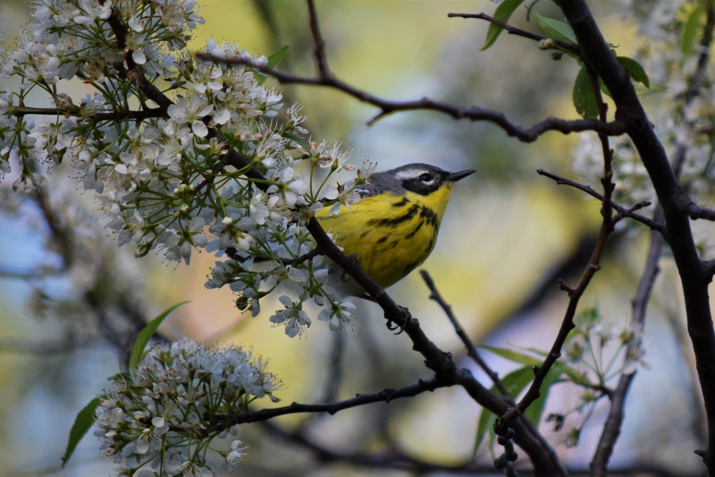 Magnolia Warbler at Montrose Point - photo by Maren Robinson