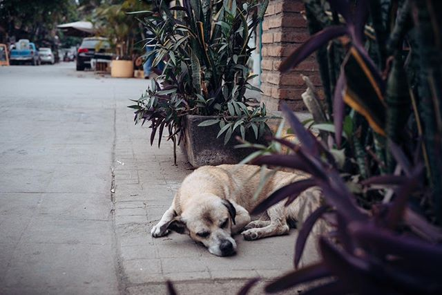 #Dogs of Mexico pt 2 - #napping #puppy #mexico #adogslife #vacation #wandering #exploring #relaxation #nayarit #lookingthrough #streets #contrast #duality #alleys #culture #texture #balance #moments #focus #color #igdaily #instagood #leica #m #typ240 #leicaphoto #leicacamera #nockton #500px