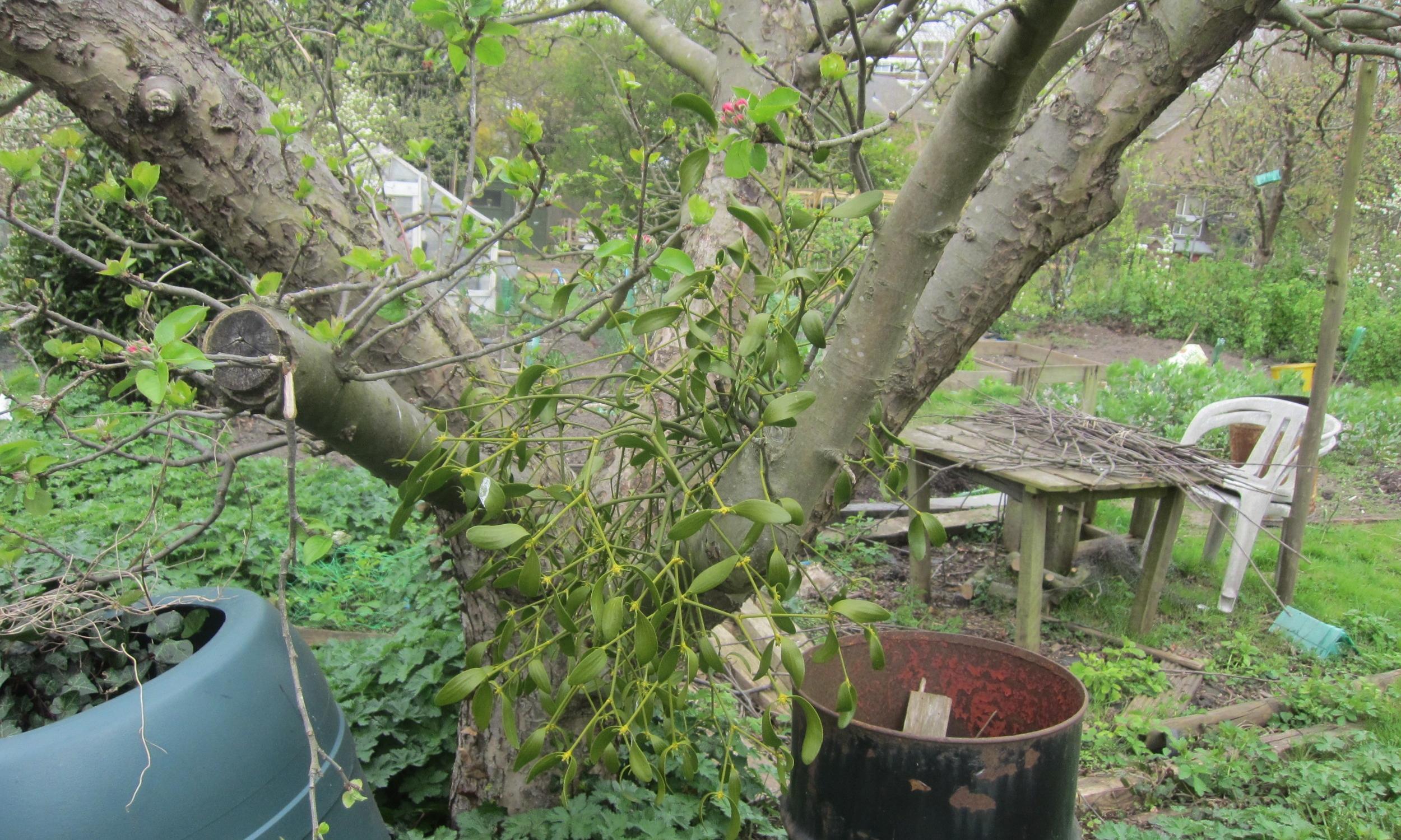 Mistletoe-pic-by-Daniel-Hackett-IMG_0434.JPG