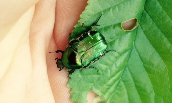 Adult-rose-chafer-by-Dan-Hackett.jpg