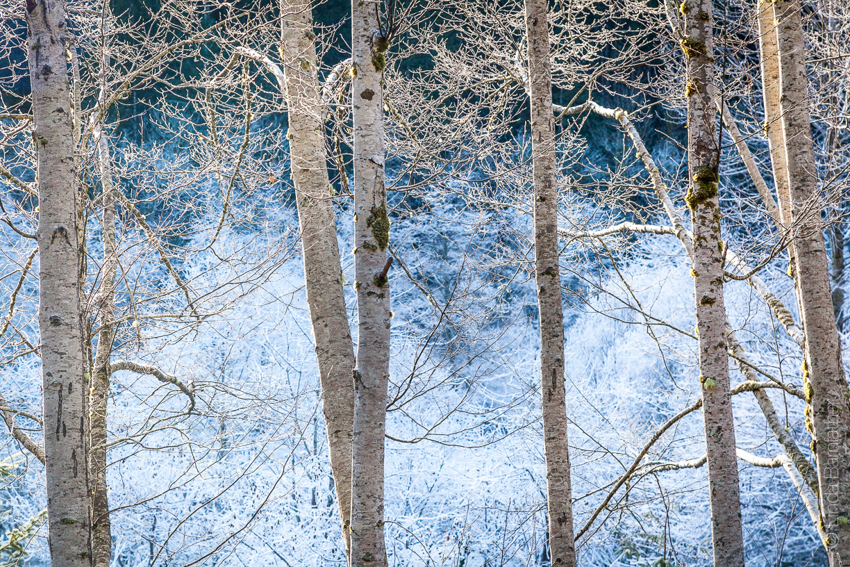 Alders and Ice in the Olympic National Forest in Jefferson County, WA.
