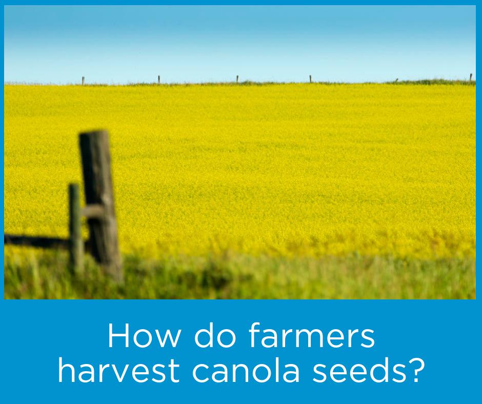 How-do-farmers-harvest-canola-seeds.png