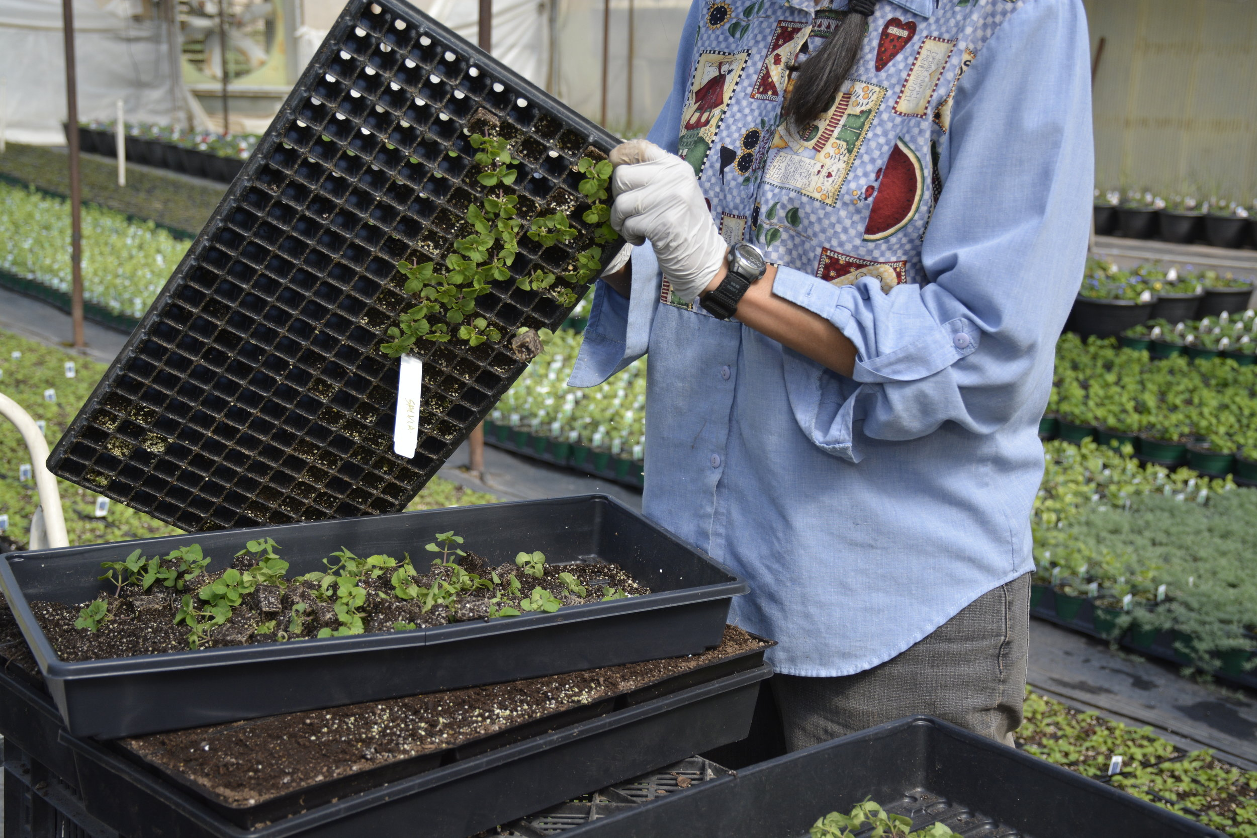 Popping out salvia starts for transplanting