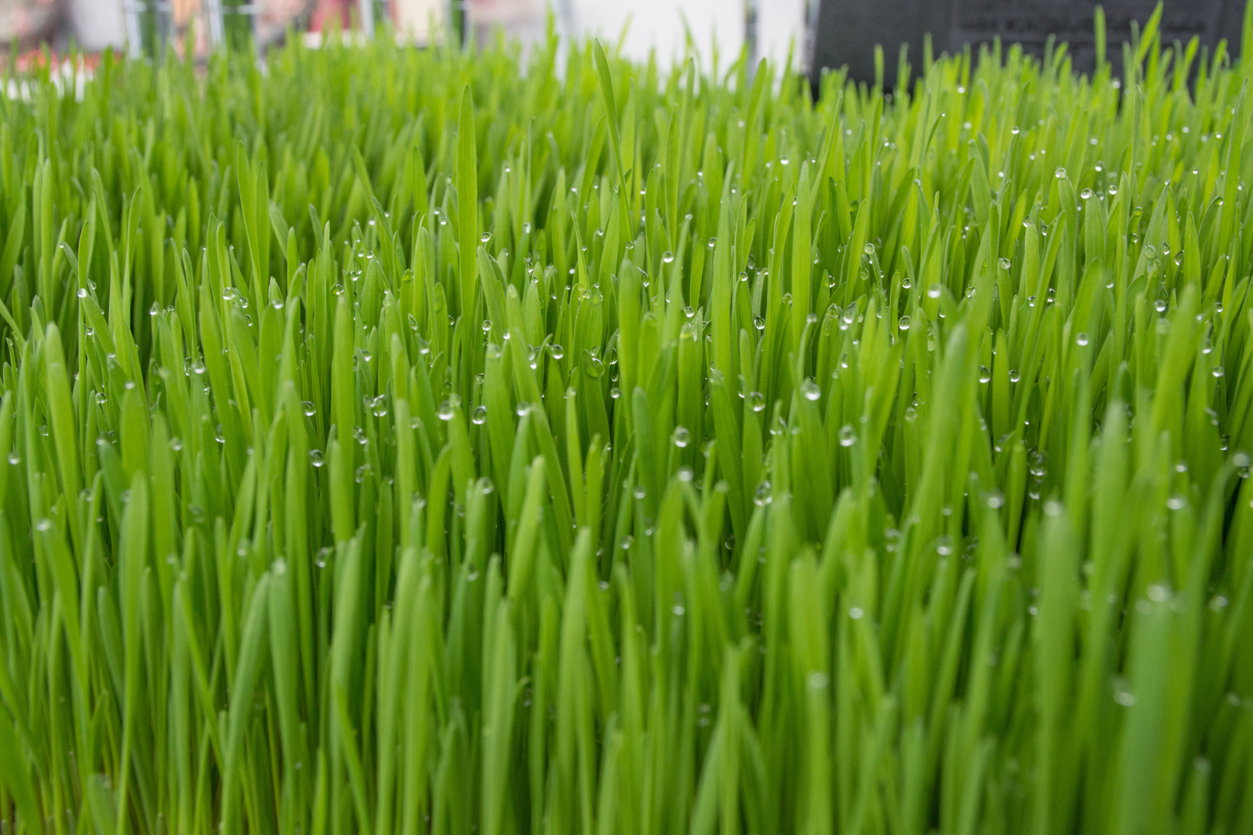 Just-watered wheatgrass