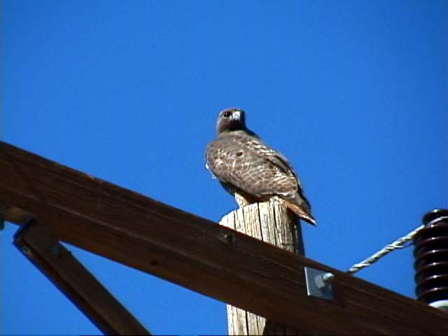 A bird of prey watches us from the top of a power line pole.