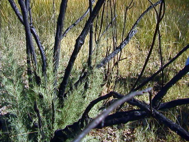 Many of the trees are burned and the ground is covered with ash. I guess that is why it is called Ash Meadows