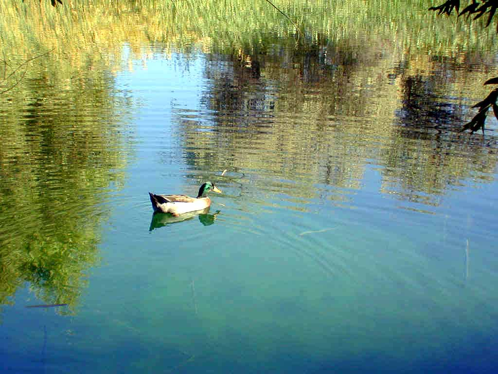 """""""Ranger"""" the duck patrolling the pond"""