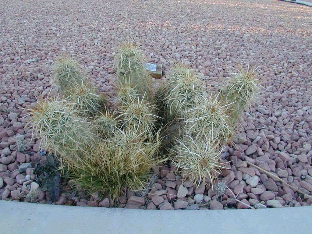 Hedgehog Cactus
