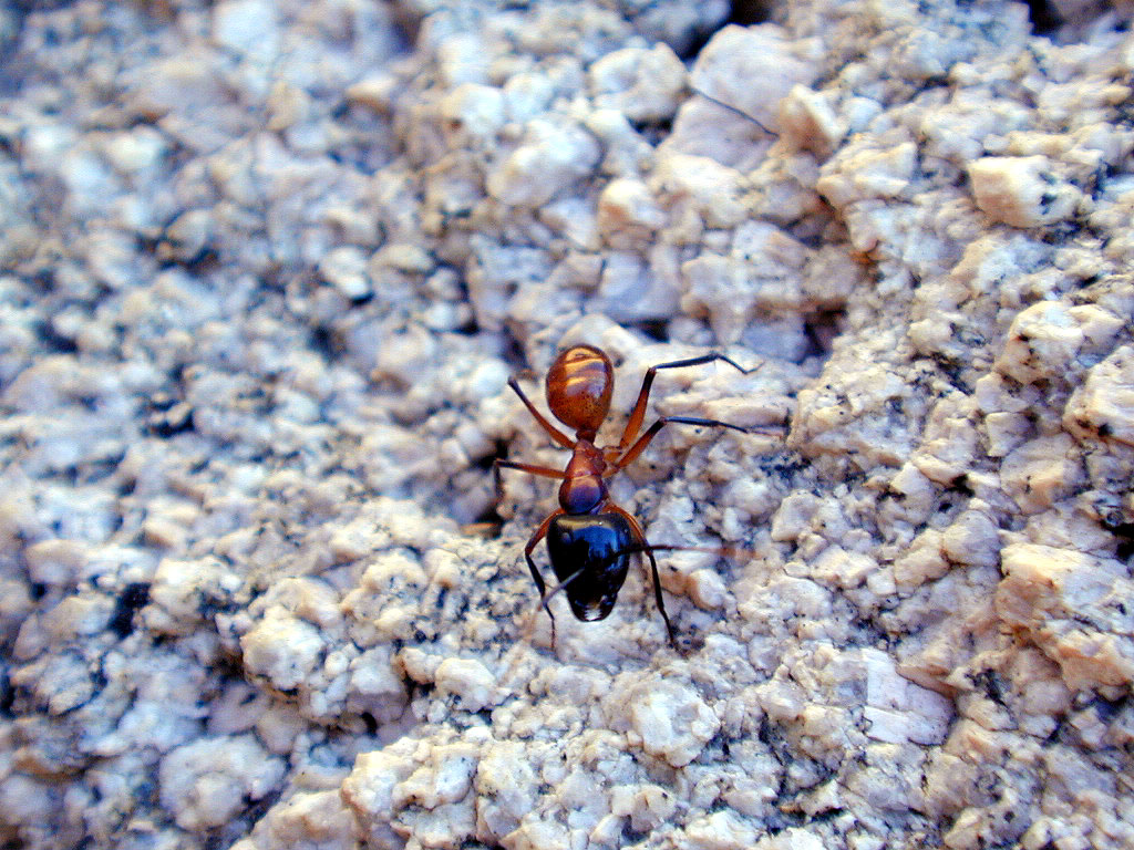 A mean-looking ant. My theory is that it bites like a black ant and stings like a red ant, but I sure wasn't going to verify that.