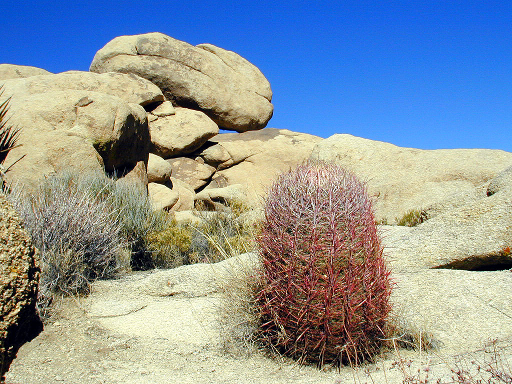 This barrel cactus grows right out of the boulder!
