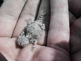 The Desert Horned Lizard (juvenile)