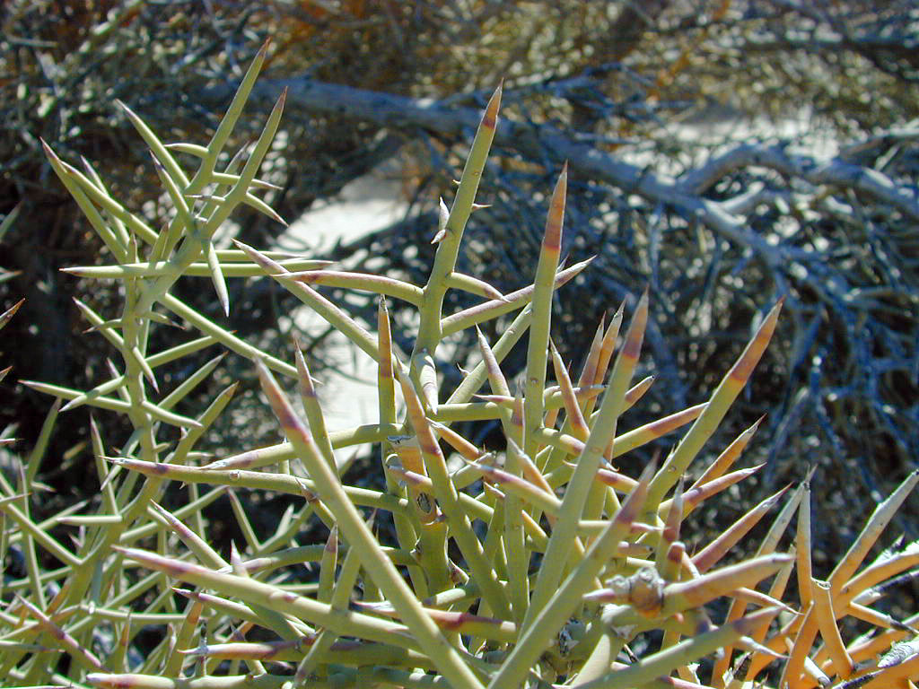 """The """"Crucifixion Bush"""". It grows wild in two spots. The Middle East and on a secluded dry lake near Afton."""