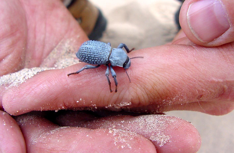 A dune beetle.